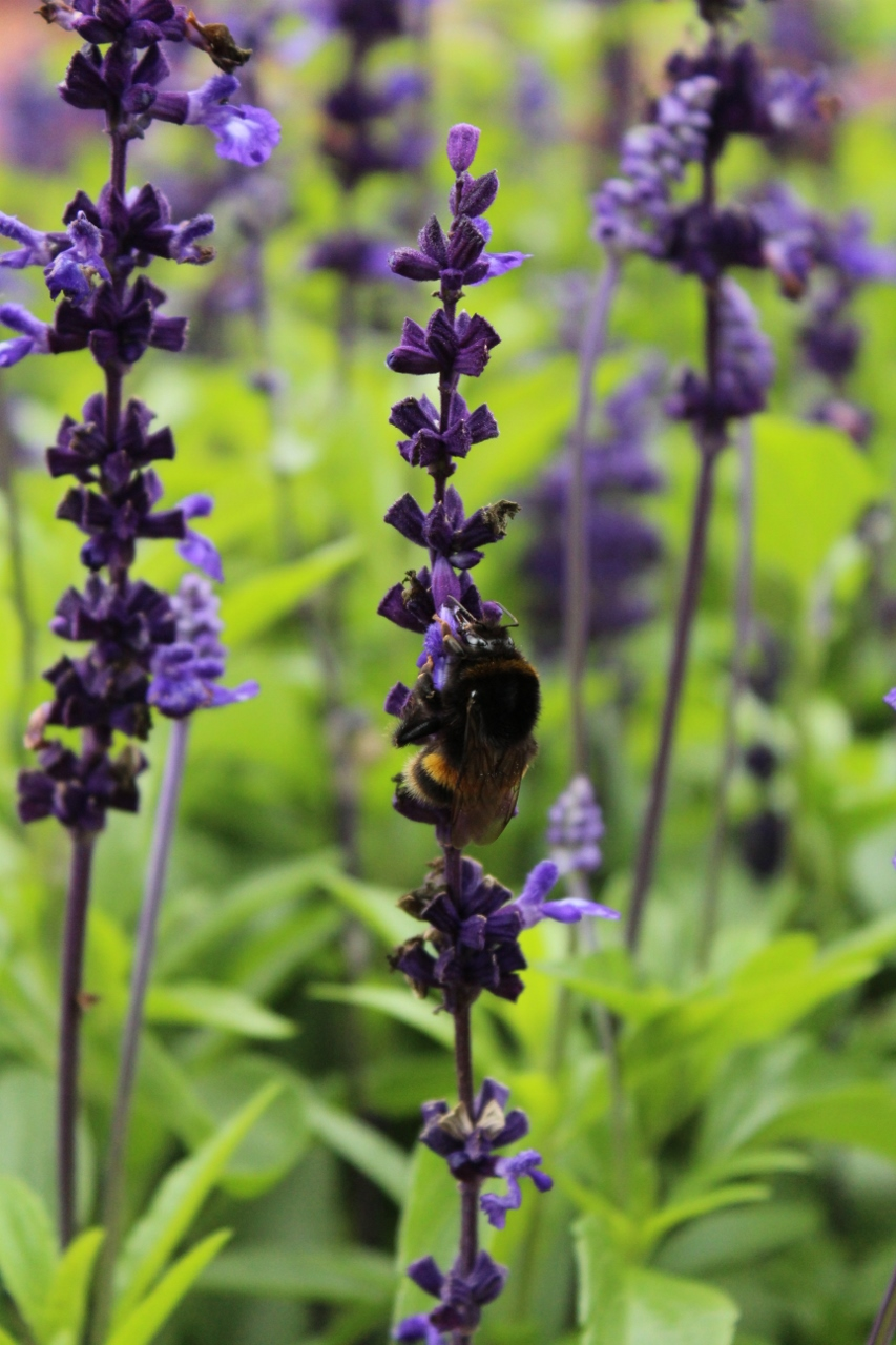 Bee on Lavender Plants