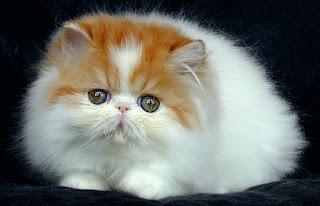 8 ++ Cara Melebatkan Bulu Kucing Kampung Secara Alami