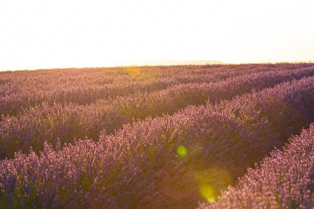 Valensole-Campi di lavanda al tramonto