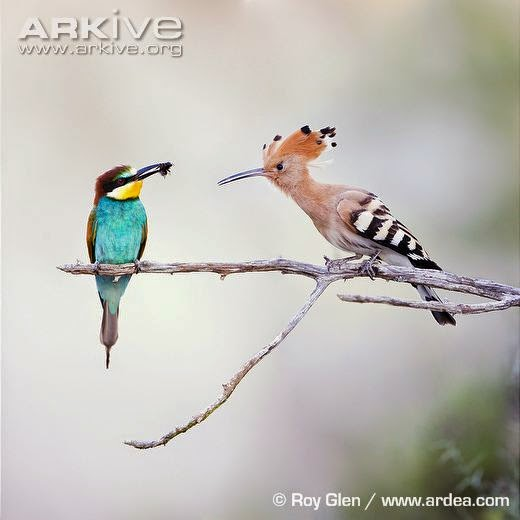 interactions between Coraciiformes eurasian Hoopoe