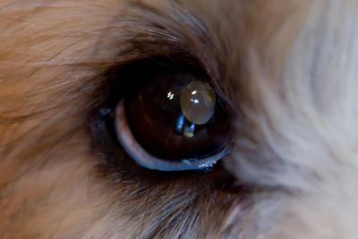 Dog Abc: Dog Eye Disease