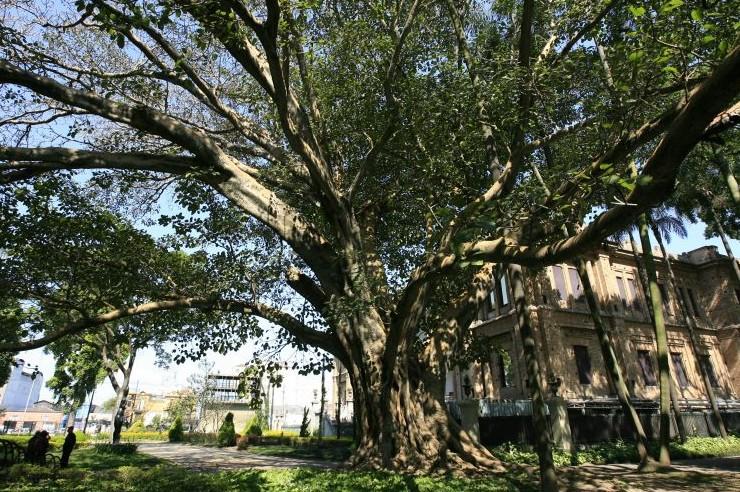 178a952d7 Há mais de 750 espécies de figueira, em geral árvores -algumas de grande  porte-, embora existam também na forma de arbustos .