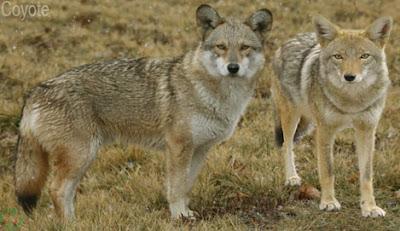 coyote, coyote wild animal