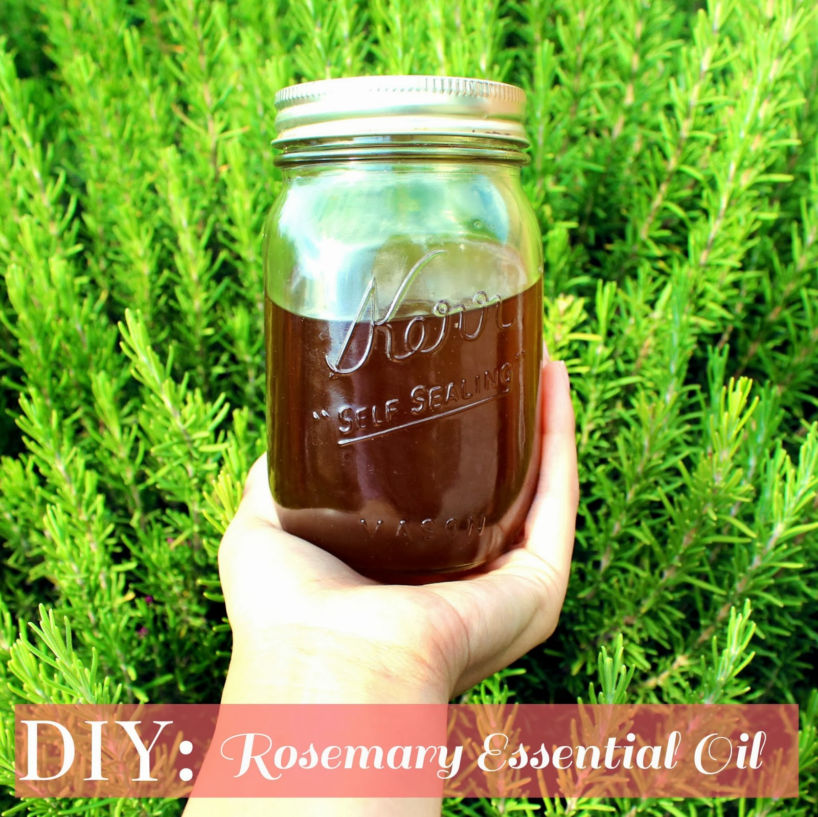 DIY: Rosemary Essential Oil (Actually it's Infused Oil