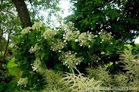 Hortensja pnąca- Hydrangea anomala ssp. petiolaris