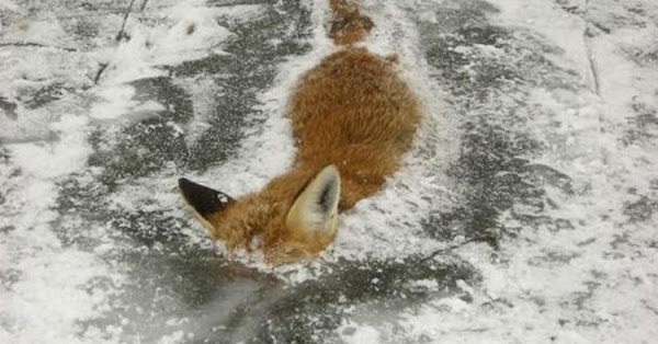 A poor fox from Norway never got out of the water.