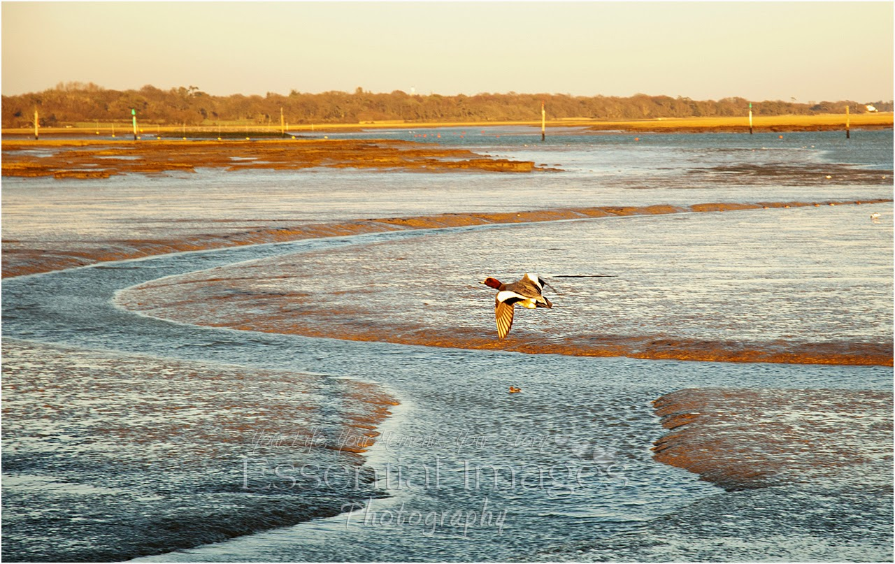 Duck in flight at lymington yacht haven