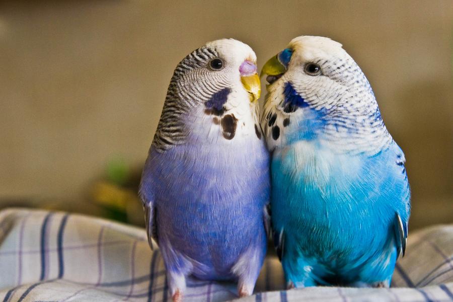 Wallpapers Love Birds: 40 Beautiful Love Birds Wallpapers