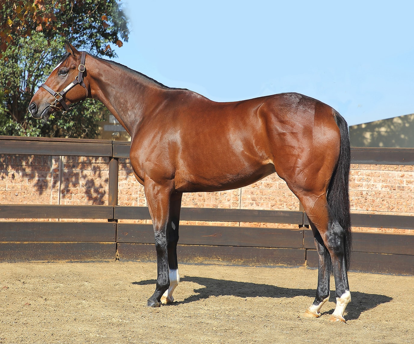 Abashiri - Horse Profile - Breeder: Lammerskraal Stud - Sire: Go Deputy (USA) - Dam: Donya by Elliodor (FR) -  (photo credit: Gold Circle)