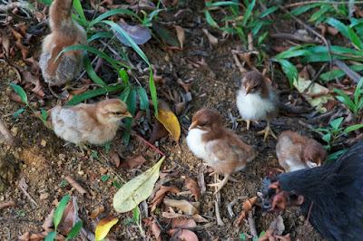 Domestic Chicken (Gallus gallus)