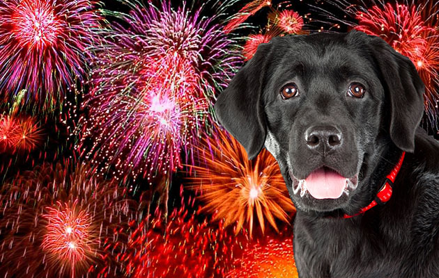 sedating a dog due to fireworks The loud, jarring noises produced by fireworks cause their dog to exhibit undesirable behaviors related to anxiety of these mediations can exacerbate sedation caused by narcotic pain relievers (tramadol, butorphanol, other), antihistamines (diphenhydramine, other), or calming herbal supplements.