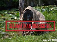 Menarik,orangutan ditemukan berburu ikan layaknya manusia purba