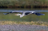 Grey Heron in Flight Woodbridge Island, Cape Town - Canon EOS 7D Mark II