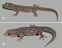 http://sciencythoughts.blogspot.co.uk/2014/06/three-new-species-of-gecko-from-central.html