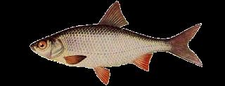 Виды речных и озерных рыб (Плотва)