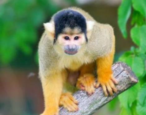 Squirrel Monkey Animal Wildlife
