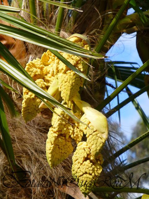 Botaniquarium - Trachycarpus fortunei inflorescence