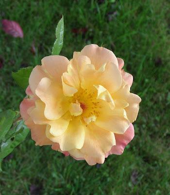 truskot, westerland, shrub_rose