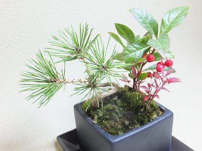 黒松と南天と十両の寄せ植え