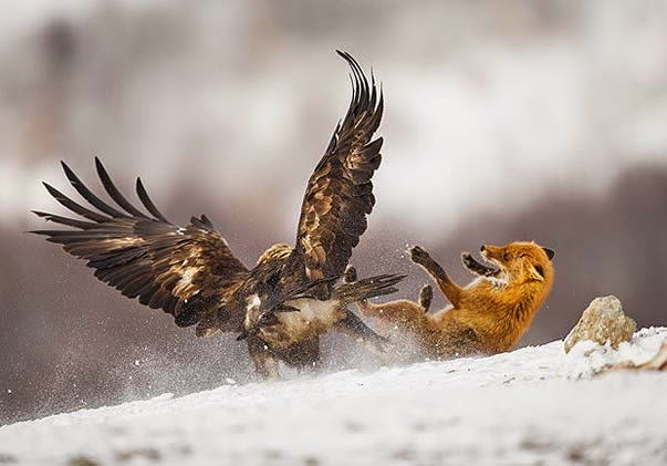 Big Cat In Snow About To Catch Bird