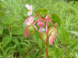 Bégonia Coeur de Jésus - Begonia cucullata