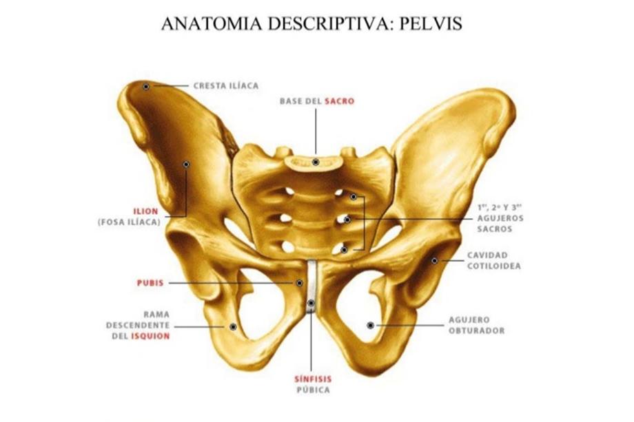 Moderno La Pelvis Anatomía Festooning - Anatomía de Las Imágenesdel ...