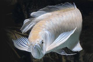 Berbagai Penyakit Ikan Arwana Beserta Penyebab Dan Cara Penyembuhannya