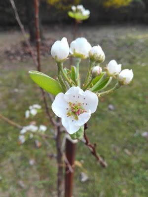 Aprile nell'orto di Elle e Alli: pero fiorito