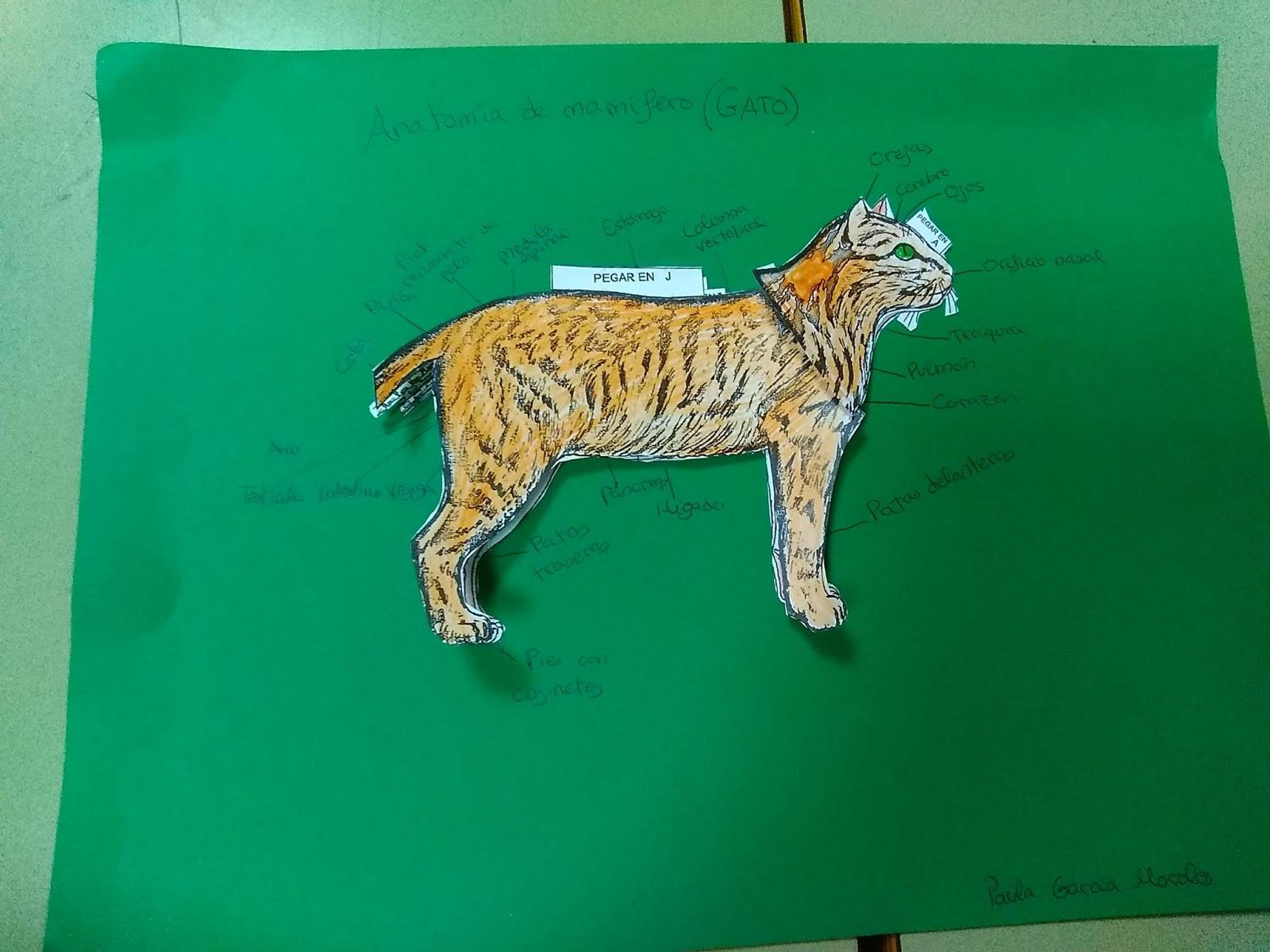 Encantador Anatomía Externa Gato Galería - Anatomía de Las ...