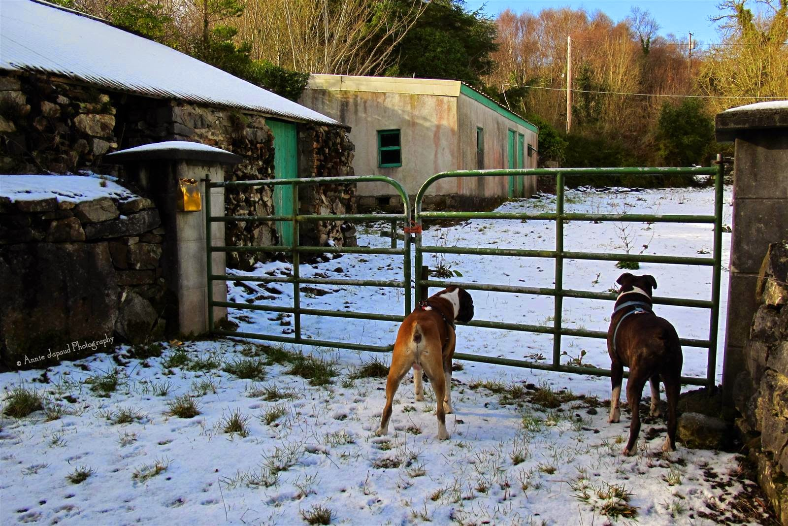 two boxer dogs looking through a gate into a garden covered in snow