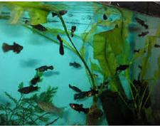 cara merawat anakan Ikan Black Molly