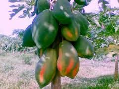 http://rajaramuan.blogspot.com/2014/09/manfaat-buah-pepaya-untuk-kesehatan-dan-kecantikan.html