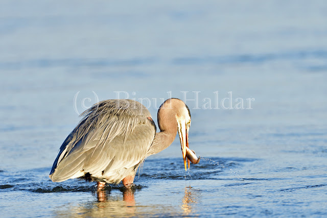 Great Blue Heron Fishing - Third