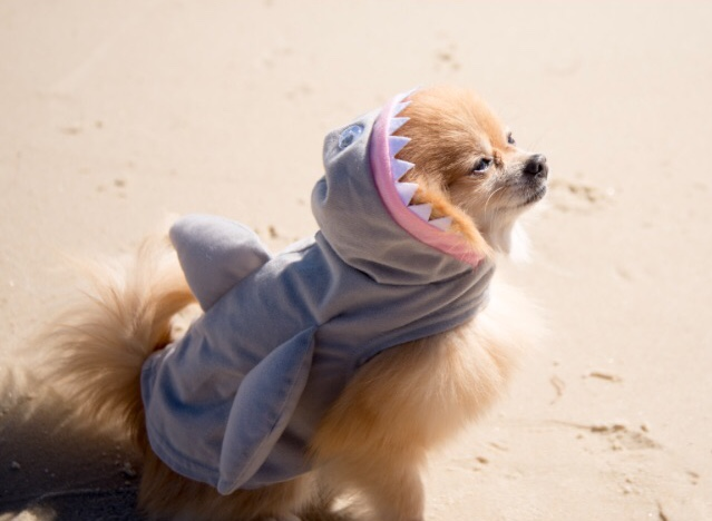 pomeranian, shark costume, beach, marine life, shark, save the earth, save the ocean, save the sharks, save the fishies, do your part, 2018, new years resolution, recycle, reduce, reuse, ecofriendly, recycled fabrics, give back, earth friendly, fashion with passion, sustainable swimwear, Saint George Island, Florida, photography, beach clean-up