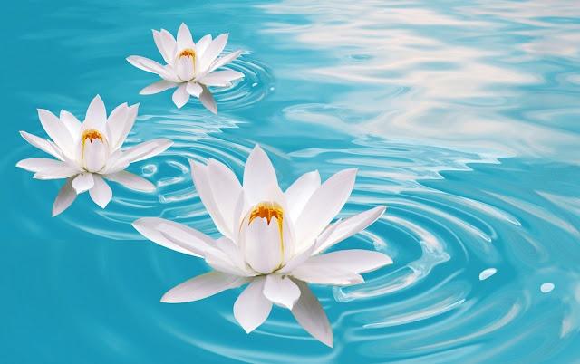 hình nền bông hoa sen trắng trên mặt nước