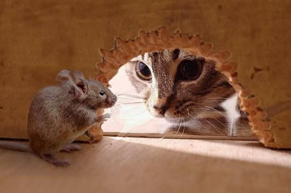 gato-cazar-plaga-limpieza