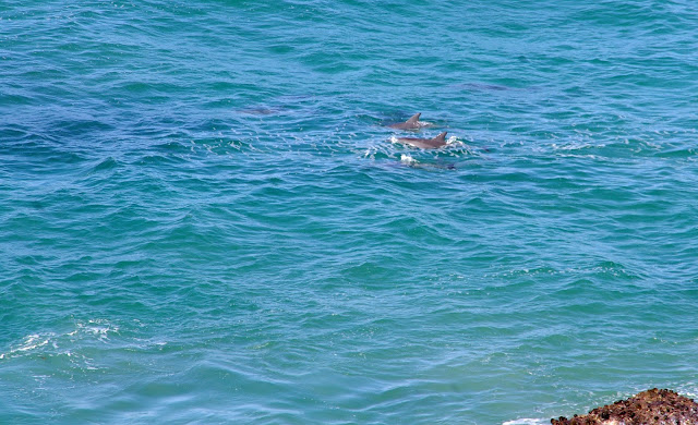 dolphins in port macquarie