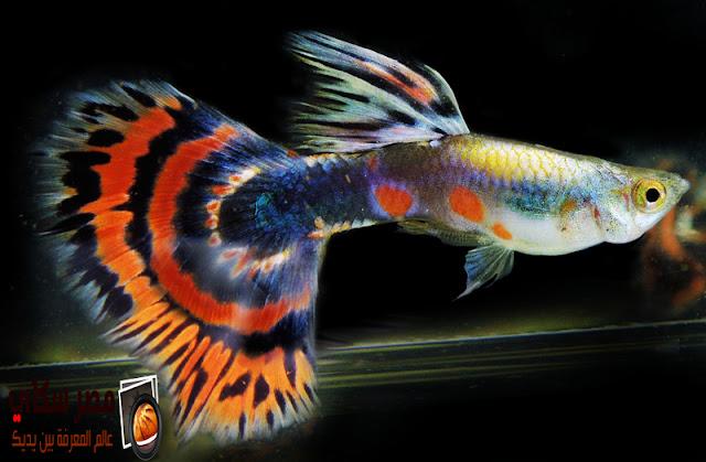 مم تتكون عائلة أسماك البوسيليدا Family Poecilia بالصور