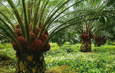 Perbatasan dengan negara malaysia, daerah ini juga di kenal dengan pertanian organiknya, termasuk juga komoditas tanaman perkebunan kopi. 7+ Daerah Penghasil Kelapa Sawit di Indonesia Yang