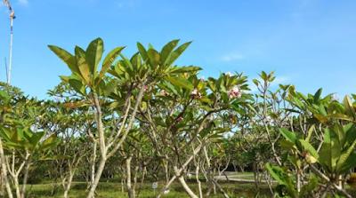 Perawatan Bunga Kamboja