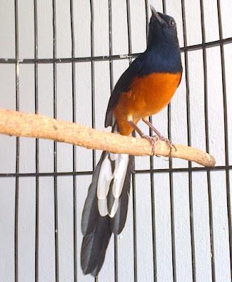 Burung Murai Batu Aceh