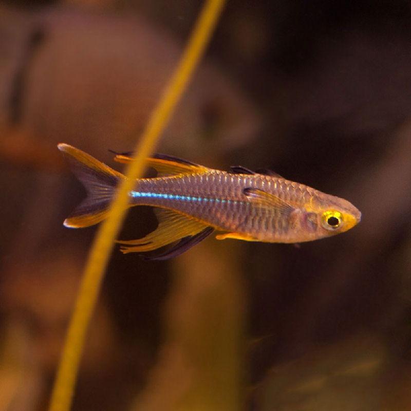 ikan rainbow pikok