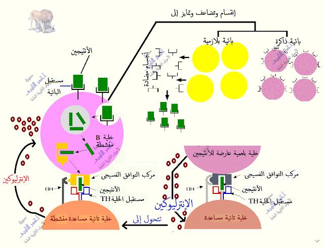 المناعة فى الإنسان - المناعة المكتسبة - خط الدفاع الثالث - المناعة الخلطية - الإفرازية - بالأجسام المضادة-خلية تائية مساعدة تنشط بائية بالإنترليوكين