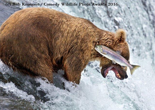 beruang salmon
