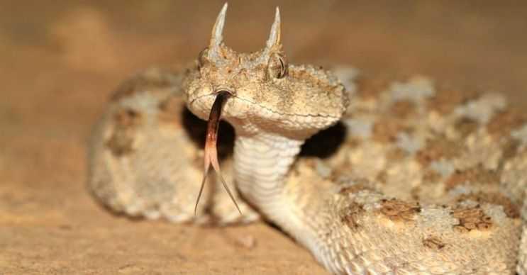 Testere pullu engerek yılanı, Kuzey Afrika ve Hindistan çöllerinde yaşayan bir türdür.
