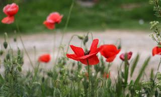 Poppies flourishing