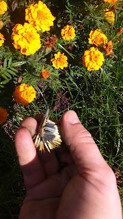 Łuska z nasionami aksamitki