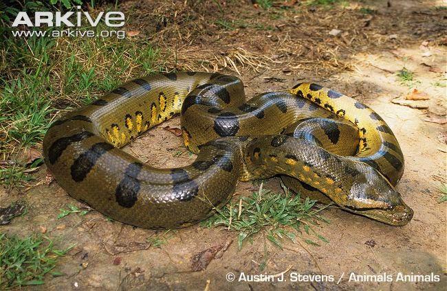 anaconda lagi besar dari ular sawa batik malaysia