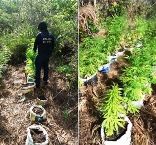 Polícia Civil erradica plantação de maconha em Ibicoara