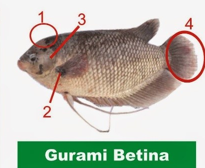 Gurami betina, Cara Membedakan Kelamin Ikan Gurami Jantan dan Betina, Membedakan Kelamin Ikan Gurami Jantan dan Betina,